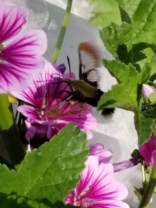 Hummingbird Moth pollinating Heirloom Thomas Jefferson French Mallow 2 by Valerie Jackson
