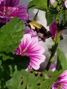 Hummingbird moth pollinating Heirloom Thomas Jefferson French Mallow by Valerie Jackson