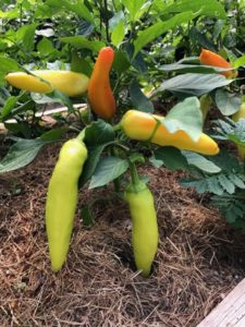 Hungarian Hot Was Pepper, on the plant by Amy Frances LeBlanc