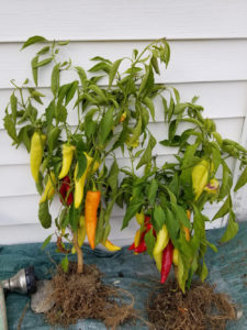 Hungarian Sweet Wax Peppers by Valerie Jackson
