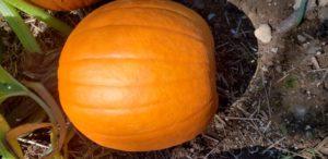Hybrid Jack O'Lantern Pumpkins by Christian Robinson
