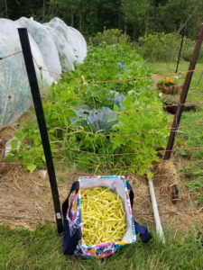 Improved yellow wax beans by Valerie Jackson