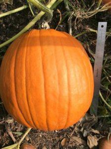 Jack O Lantern Pumpkin by Lindsey Schortz