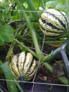 Jester acorn squash by Anne Warner