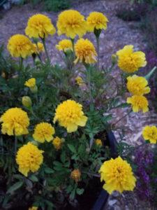 Lemon drop Marigolds by Valerie Jackson