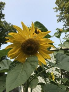Mammoth Sunflower by Jo Eaton