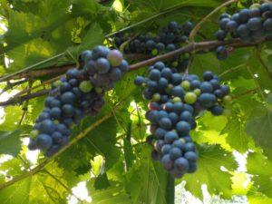 Marechal Foch Grapes by Jason Eisenhuth