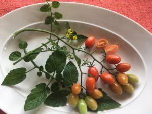 Unidentified cherry tomato by Martha Gottlieb