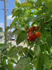Minibel Tomato by Joe Blass