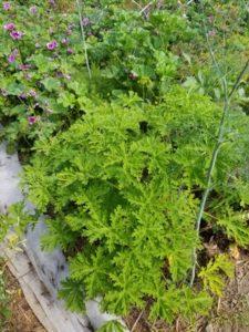 Mosquito scented geranium by Valerie Jackson