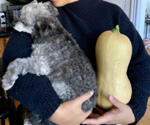 My 8.8 lb dog (chihuahua/mini poodle mix) for size next to butternut squash by Melissa DeStefano
