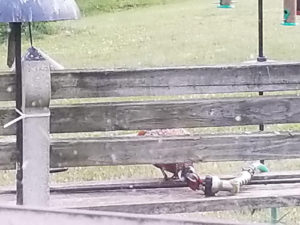 Oddities - pheasant trying to get water from hose nozzle by Valerie Jackson
