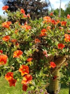 Orange Calibrachoa by Valerie Jackso