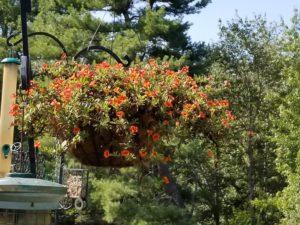 Orange Calibrachoa hanging basket by Valerie Jackson