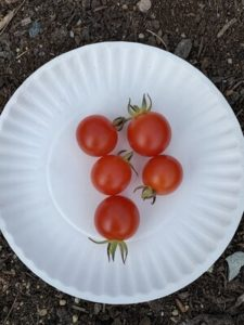 Peacevine Cherry Tomatoes by Morse Memorial Elementary School