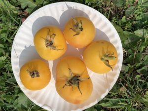 Peach Tomatoes by Morse Memorial Elementary School