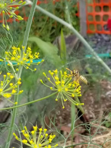 Pollinator- Wasp pollinating dill by Valerie Jackson