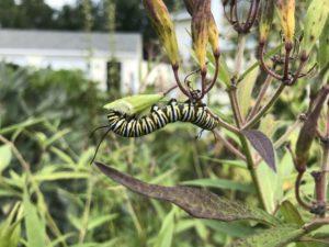 Pollinators - Monarch caterpillar by Matthew Dubois