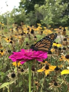 Pollinators - Monarch pollinates zinnia by Matthew Dubois