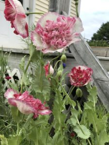 Poppy, Flemish Antique by Matthew Dubois