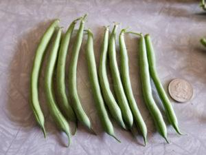 Provider Bush Beans by Valerie Jackson