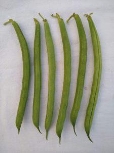 Provider snap bean by Anne Warner