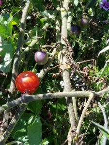 Purple Smurfs cherry tomatoes by Valerie Jackson