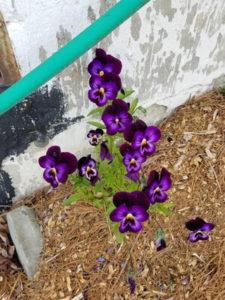 Purple Violas by Valerie Jackson