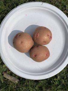 Red Pontiac Potatoes by Morse Memorial Elementary School