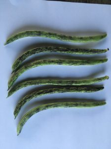Rattlesnake Pole Bean by Rosey Guest