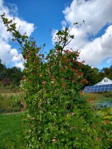 Scarlett and Painted Lady Runner beans on poles for pollinators by Anne Warner