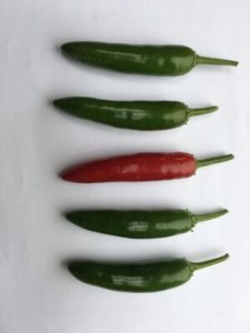 Serrano Pepper - Tampequino by Rosey Guest