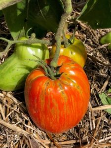 Speckled Roman Tomato by Mary Raikes