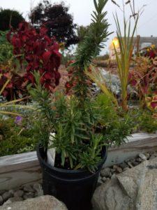Spice Island Rosemary by Valerie Jackson