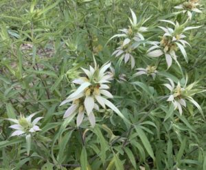 Spotted Horsemint, Herb plant by Martha Gottlieb