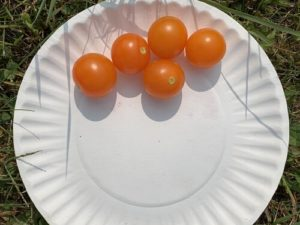 Sun Gold Cherry Tomatoes by Morse Memorial Elementary School