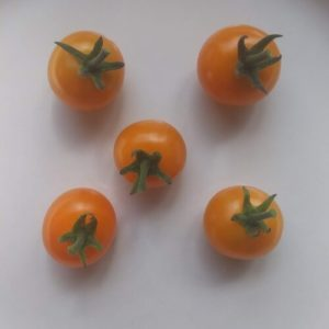 Sun Gold tomatoes by Frenchboro Elementary School