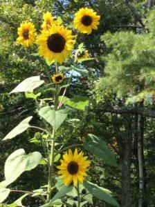 Sunflower by Lindsey Schortz