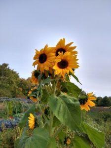 Sunflower volunteer by Anne Warner