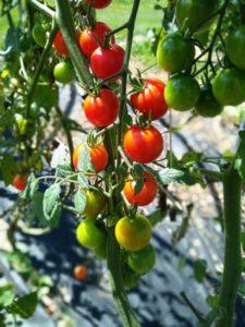 Sweet 100 cherry tomato by Anne Warner