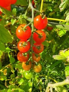 JUDGES' AWARD: Sweet 100 tomatoes by Marsha and Michael Sloan
