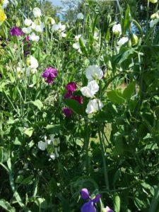 Sweet Pea vine (saved seed) by Anne Warner