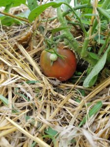 Heirloom Japanese Black Truffle tomato by Valerie Jackson