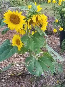 Volunteer chipmunk black oil sunflower by Valerie Jackson