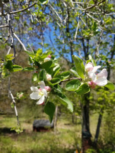 Wild Apple tree blossoms by Valerie Jackson