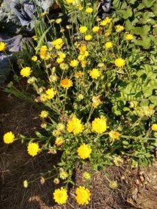 Yellow Calendula pollinator intercrop by Anne Warner
