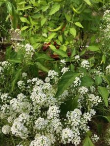 Alyssum, understory planting to attract pollinators by Amy Frances LeBlanc