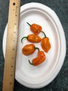 Habanero VERY hot pepper! by Amy Frances LeBlanc