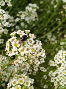 Housefly on Alyssum by Amy Frances LeBlanc