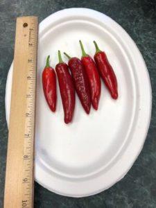 Spitfire de-hybridizing Strain B, Korean Hot Pepper by Amy Frances LeBlanc